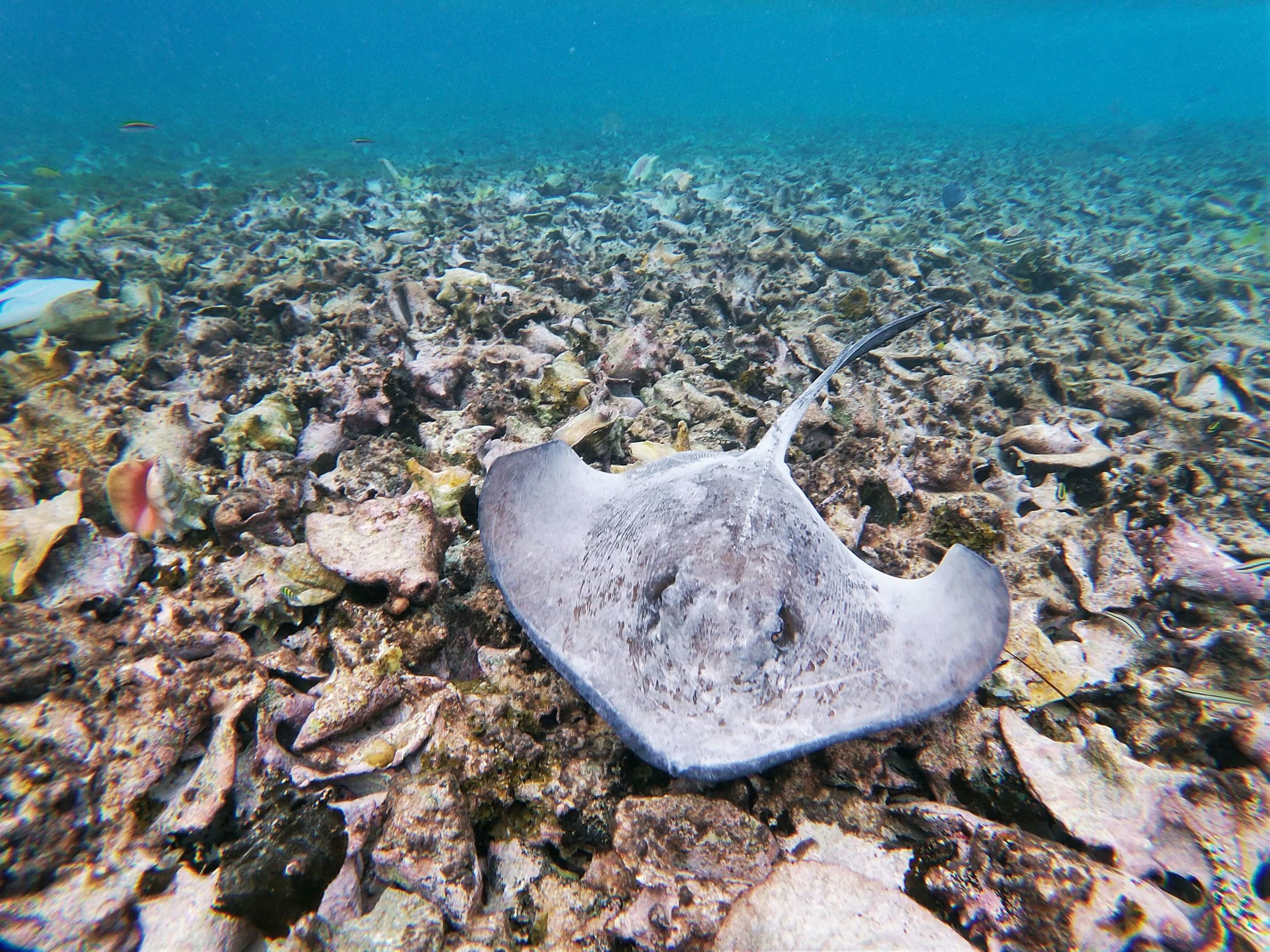 Belizean Sting Ray