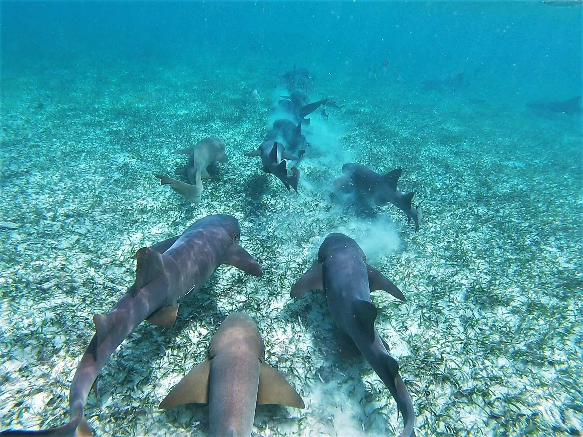 Belizean Nurse Sharks