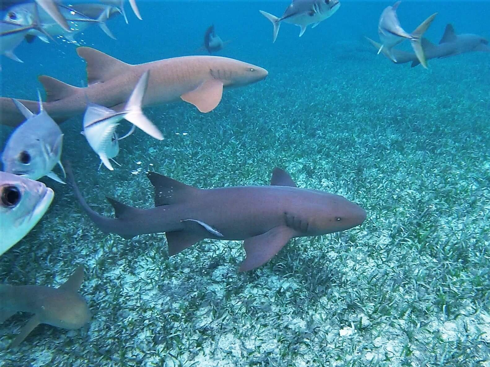 Belizean barrier reef Nurse Sharks on the prowl. Scuba diving at Shark-Ray Alley, Belize.