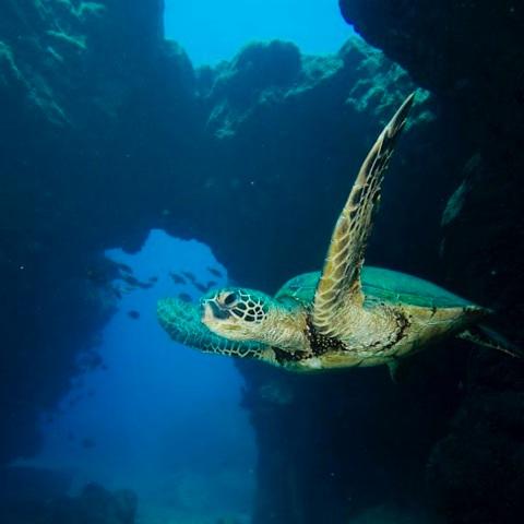 A sea turtle gliding through a tunnel at Sheraton Caverns, Kauai. Photo credit: Josh Childress.