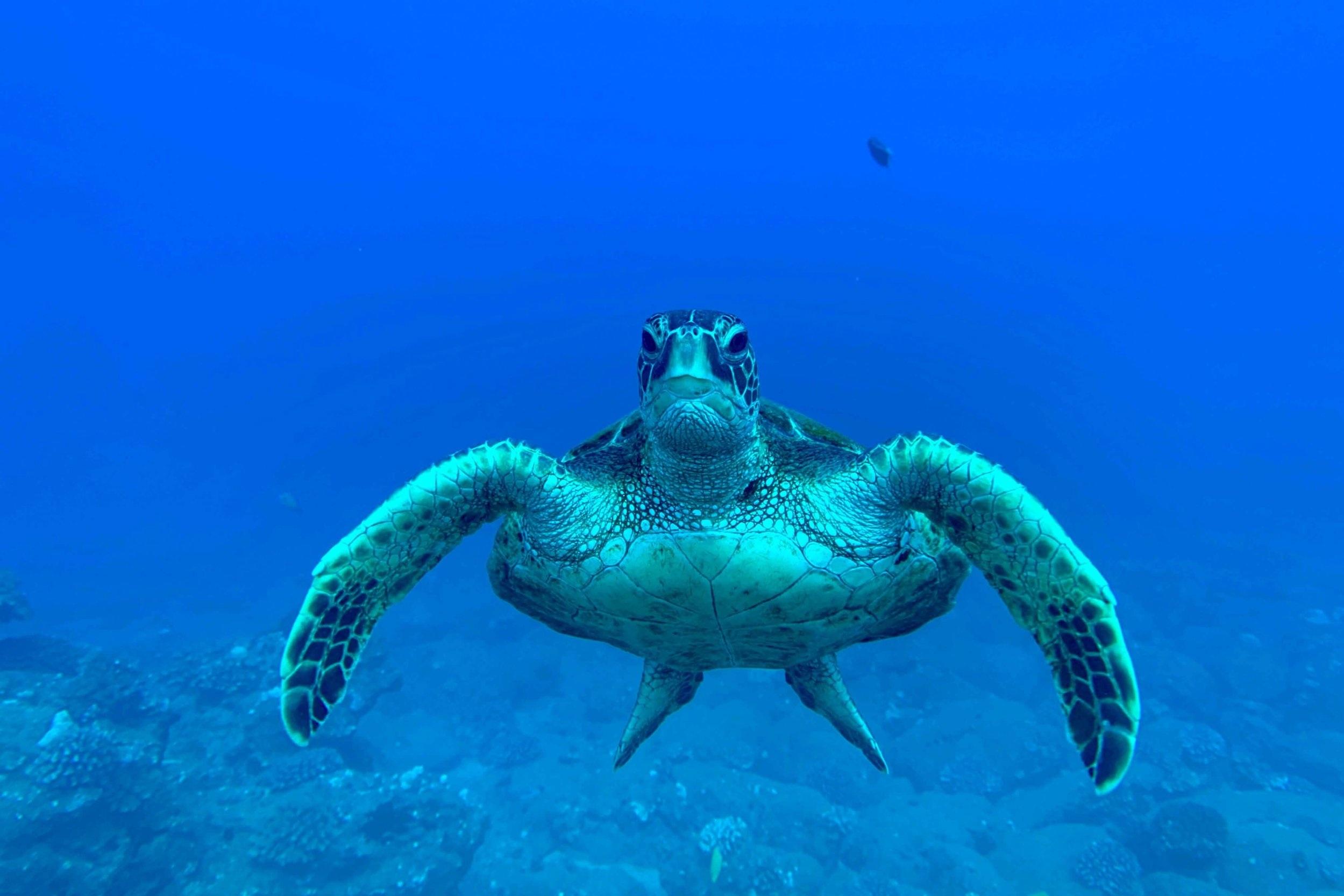One of the many amazing sea turtles that calls Sheraton Caverns home. Photo credit: Josh Childress