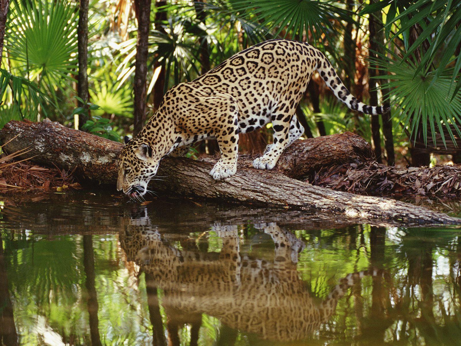 belize-jaguar.jpg