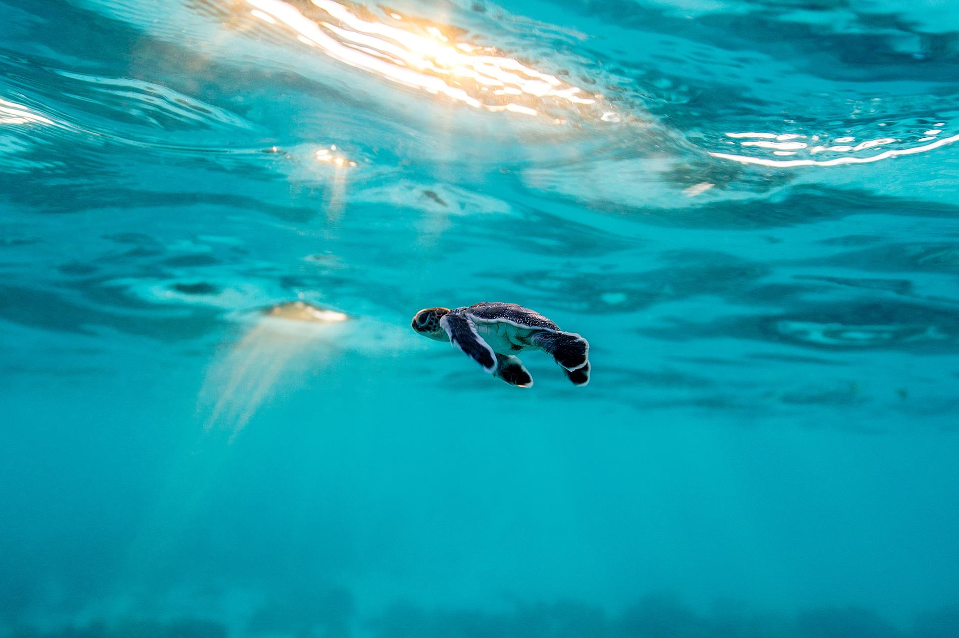 baby-turtle-heron-island-australia.adapt.1900.1.jpg
