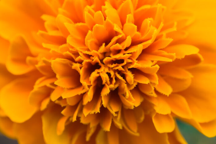 Flowers of the Dead - It is believed that marigold's bright colors and attractive scent guide dead souls back to their familial altars. In some communities, people build a path of marigolds from their homes to their loved one's tombstone, in order that the deceased may easily find their way back home again.