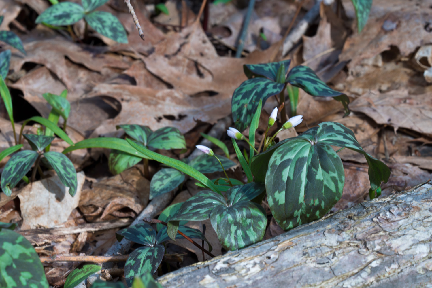 A broad leaf boquet of early Yellow Trillium. Photo by Joseph Maas