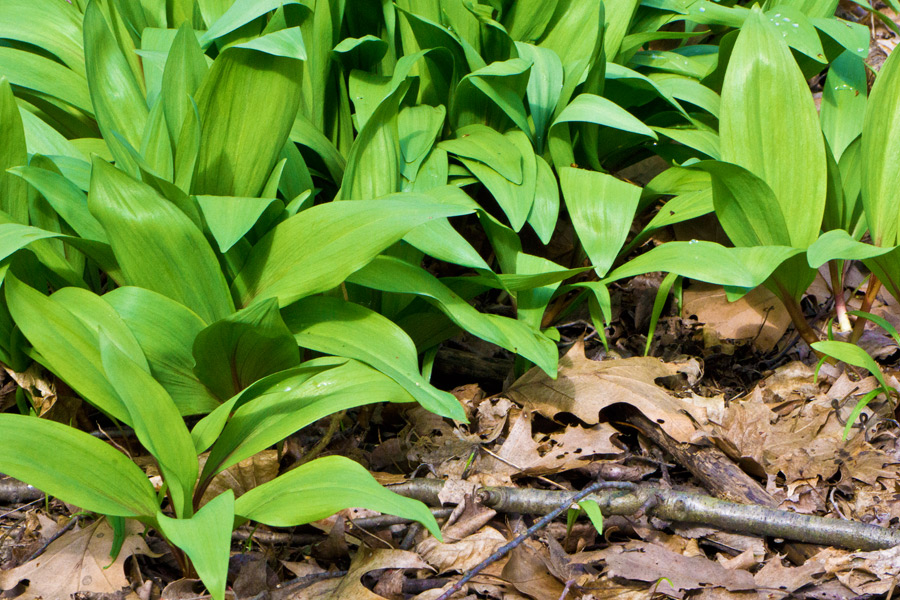 A cascade of Ramps in the April sunshine. Photo by Rita Arnold