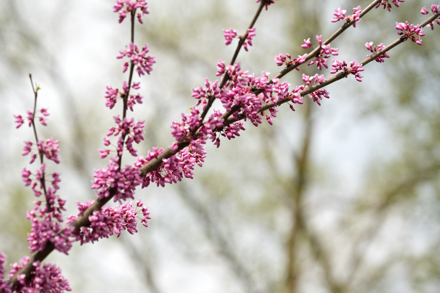 "The Redbud is a tree that is valued far more than its small size might suggest. This lovely harbinger of spring has been called ""a breath of fresh air after a long winter"" and no less than ""one of our most beautiful native trees"" by tree expert Michael Dirr. — from  ArborDay.org   Photo by Joseph Maas"