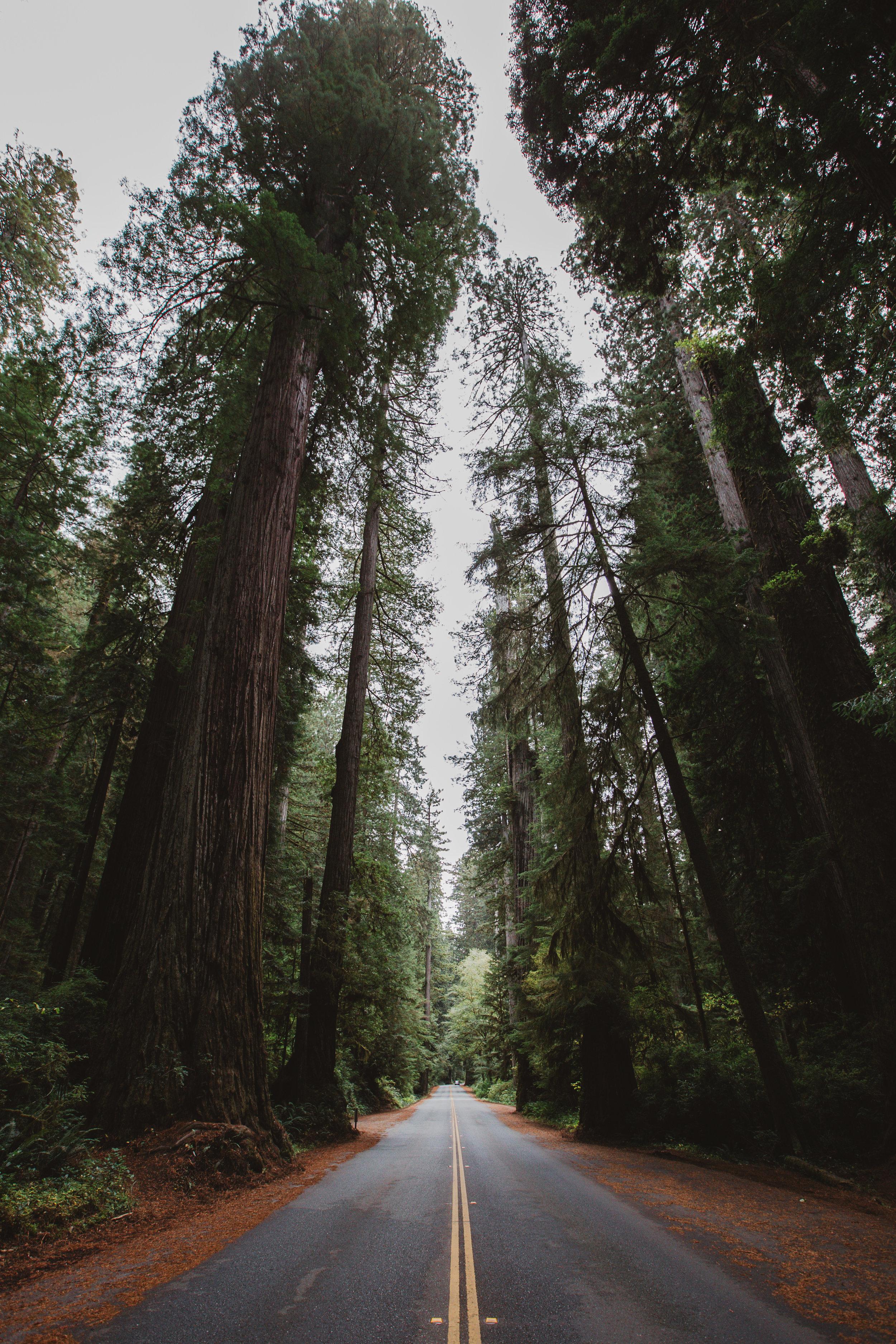 Redwood Forest in Humboldt Redwoods State Park.