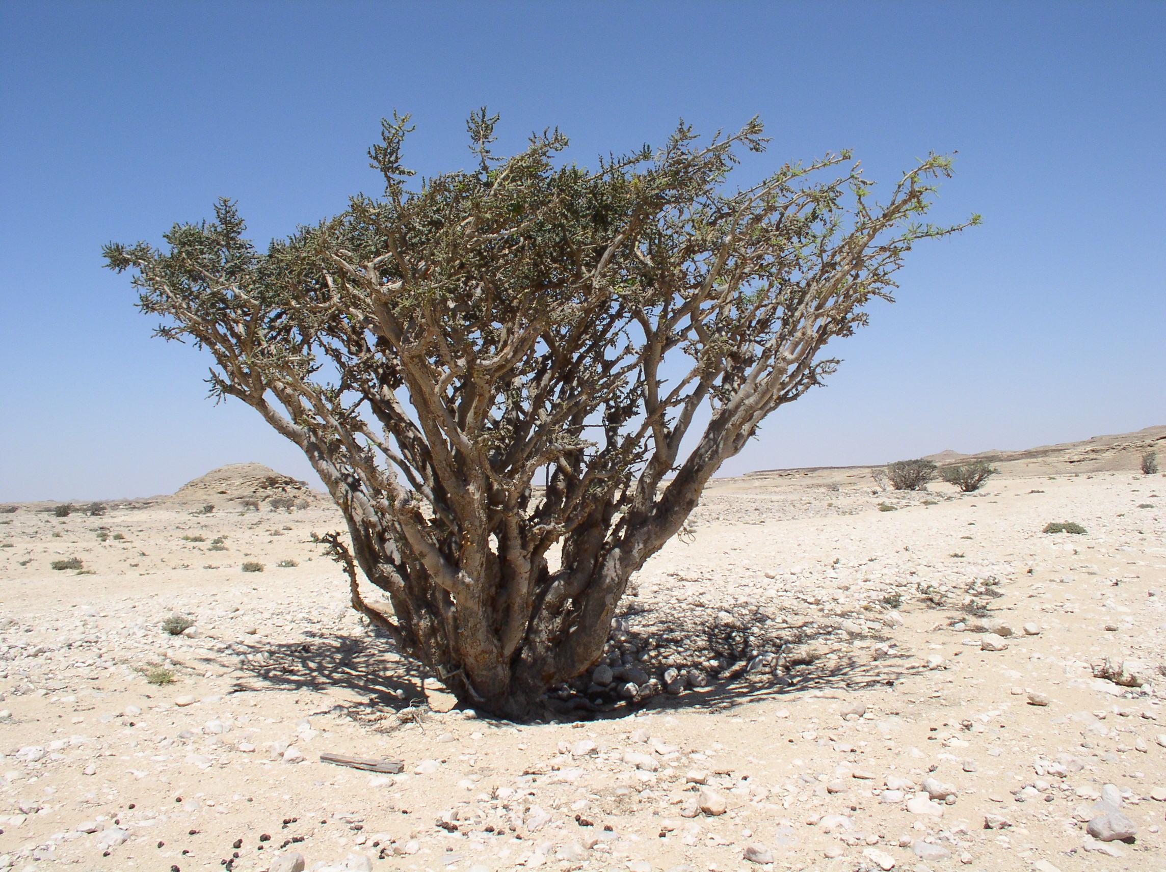 A Boswellia tree growing in the Wadi Dowkah, Dhofar, Oman.