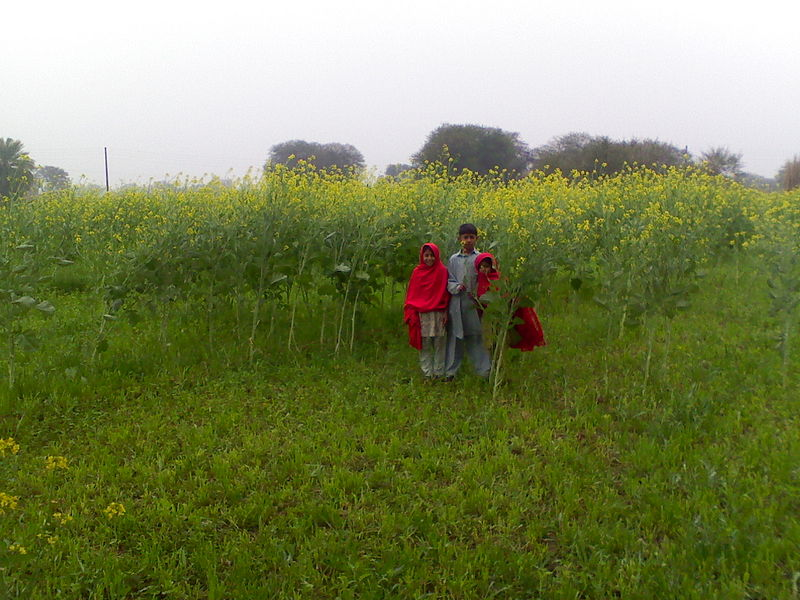 Mustard plants in Burzi, Pakistan