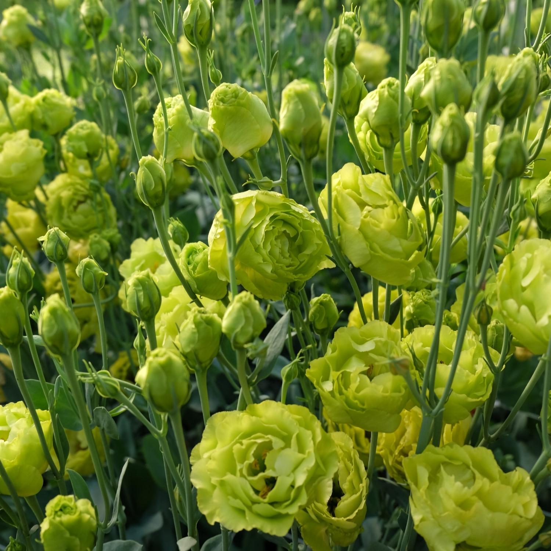 Lisianthus- Roseann Green