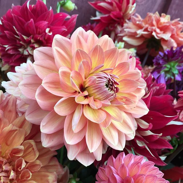 We got home Friday, and I've spent 2 days getting back in the groove and cutting boatloads of dahlias!  Nina, Marie, Holly and Delany did a fabulous job while we were gone. The dahlias have never looked this good, despite the heat and drought. #dahlias #farmgals #homesweethome