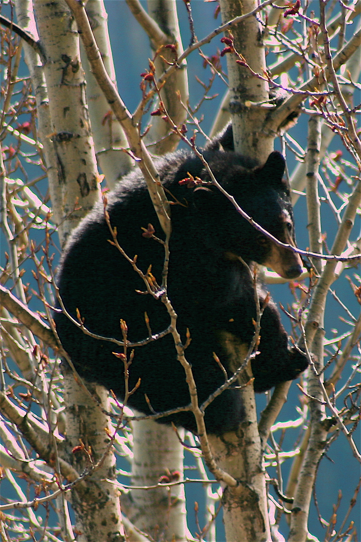 A bear cub up in a tree along the Alcan.