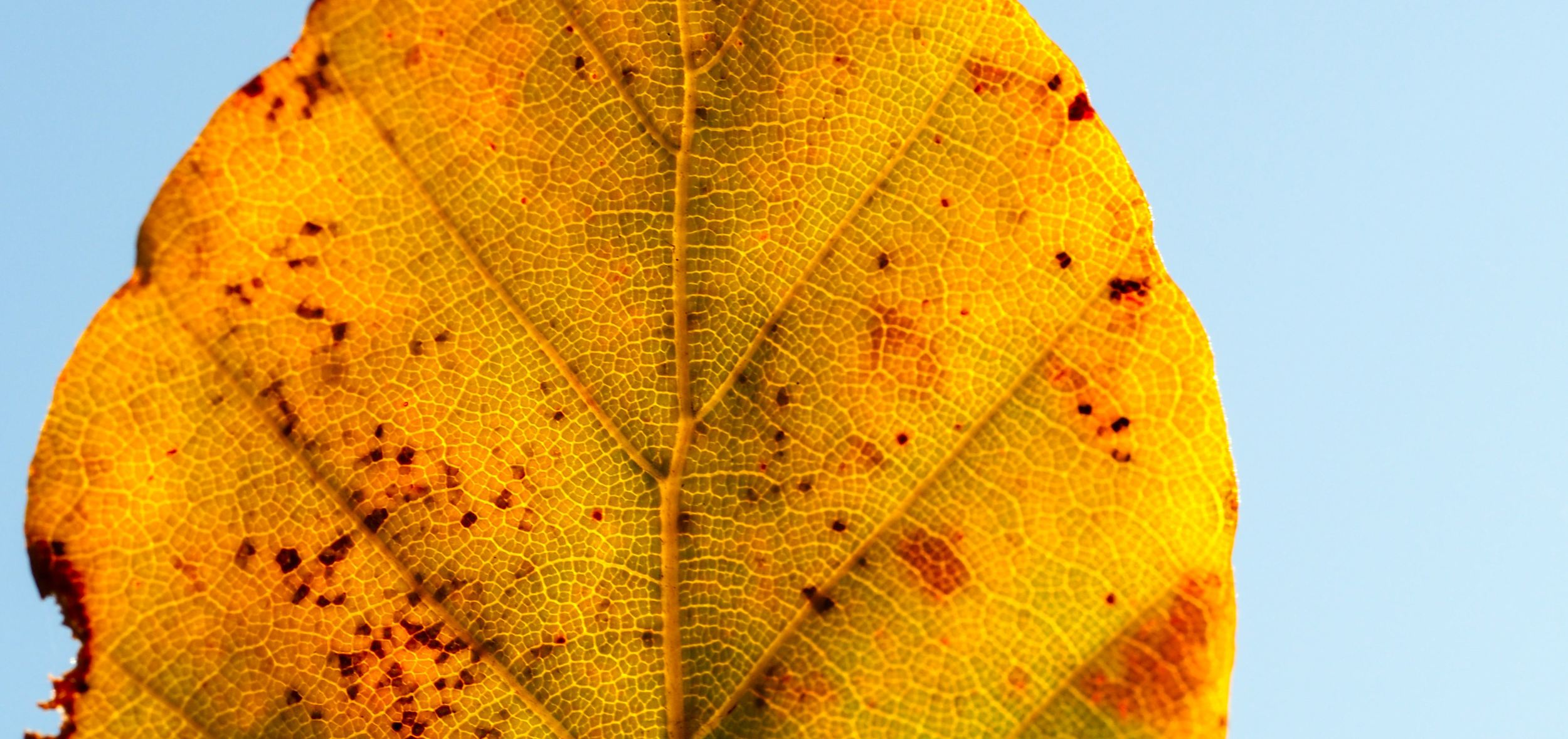yellow-leaf.jpg