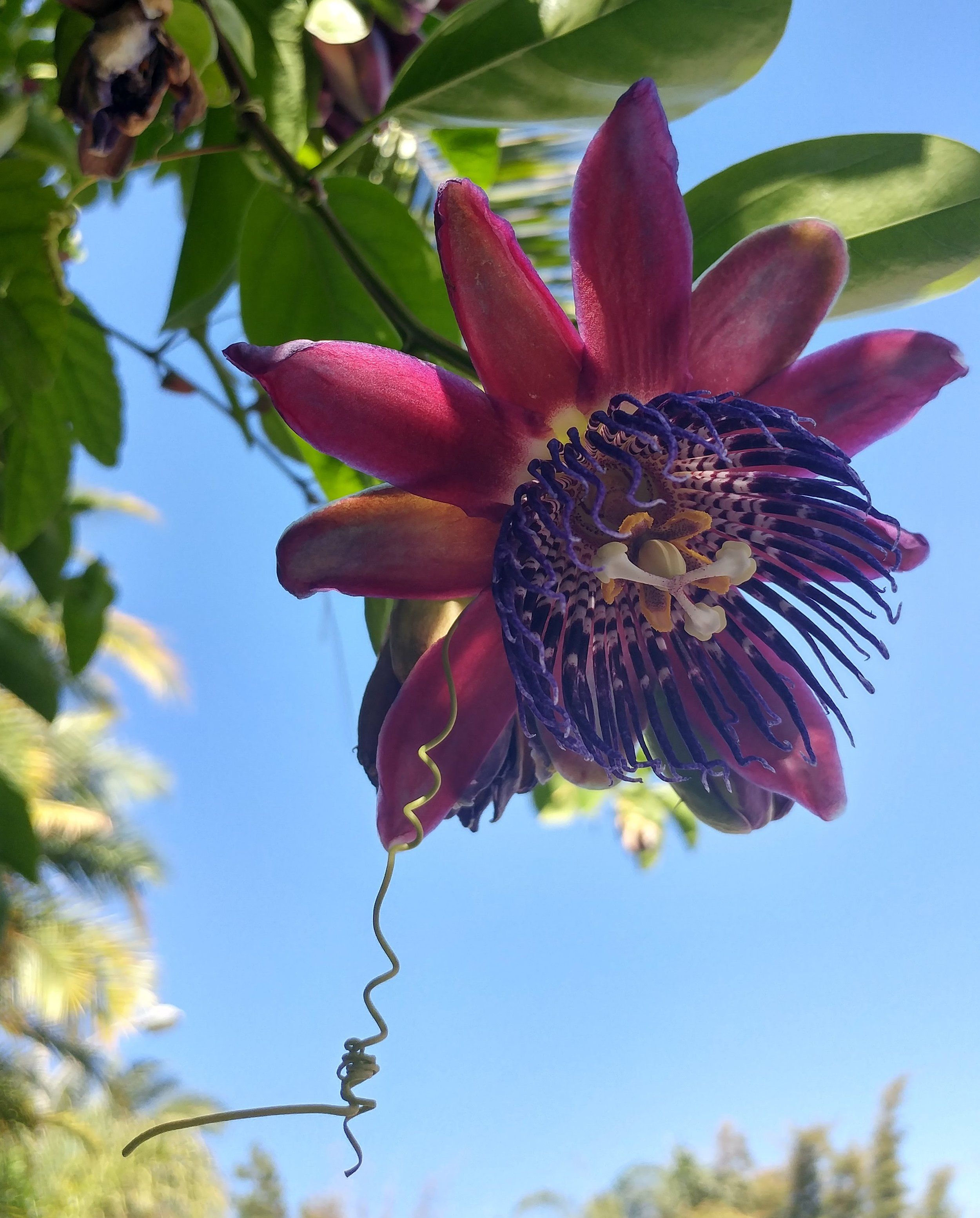 P  is for Passion Flower