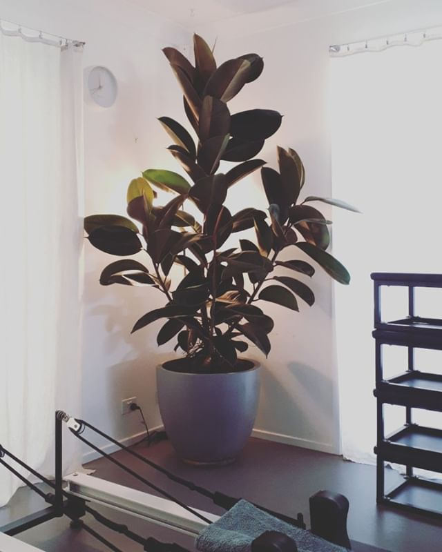 Welcoming Ruby the rubber tree . Keeping us oxygenated and calm during classes ♡