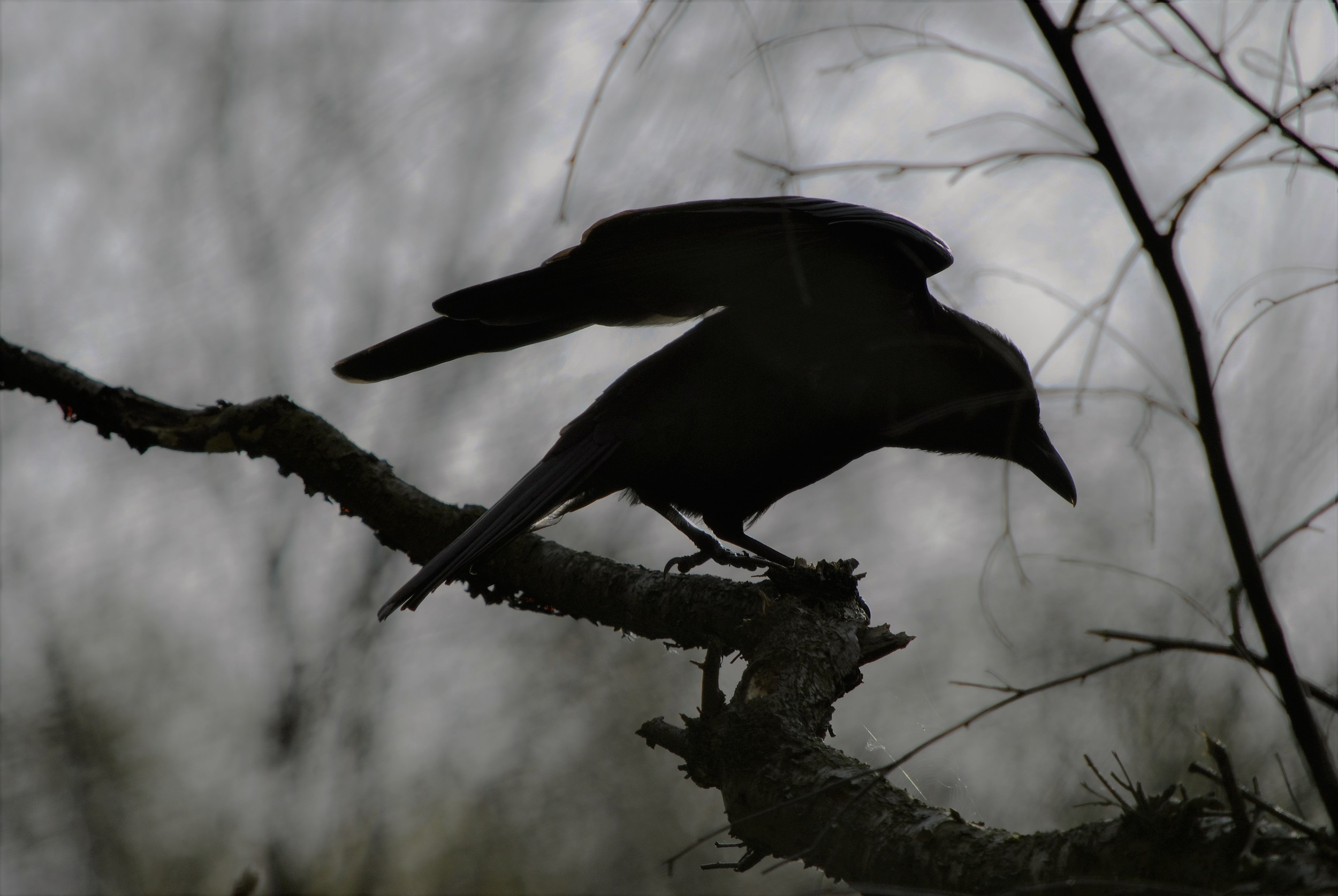 A Raven perched outside the Ginger&Browns pet shop in Northwich, near Chester, Winsford and Frodsham in Cheshire.