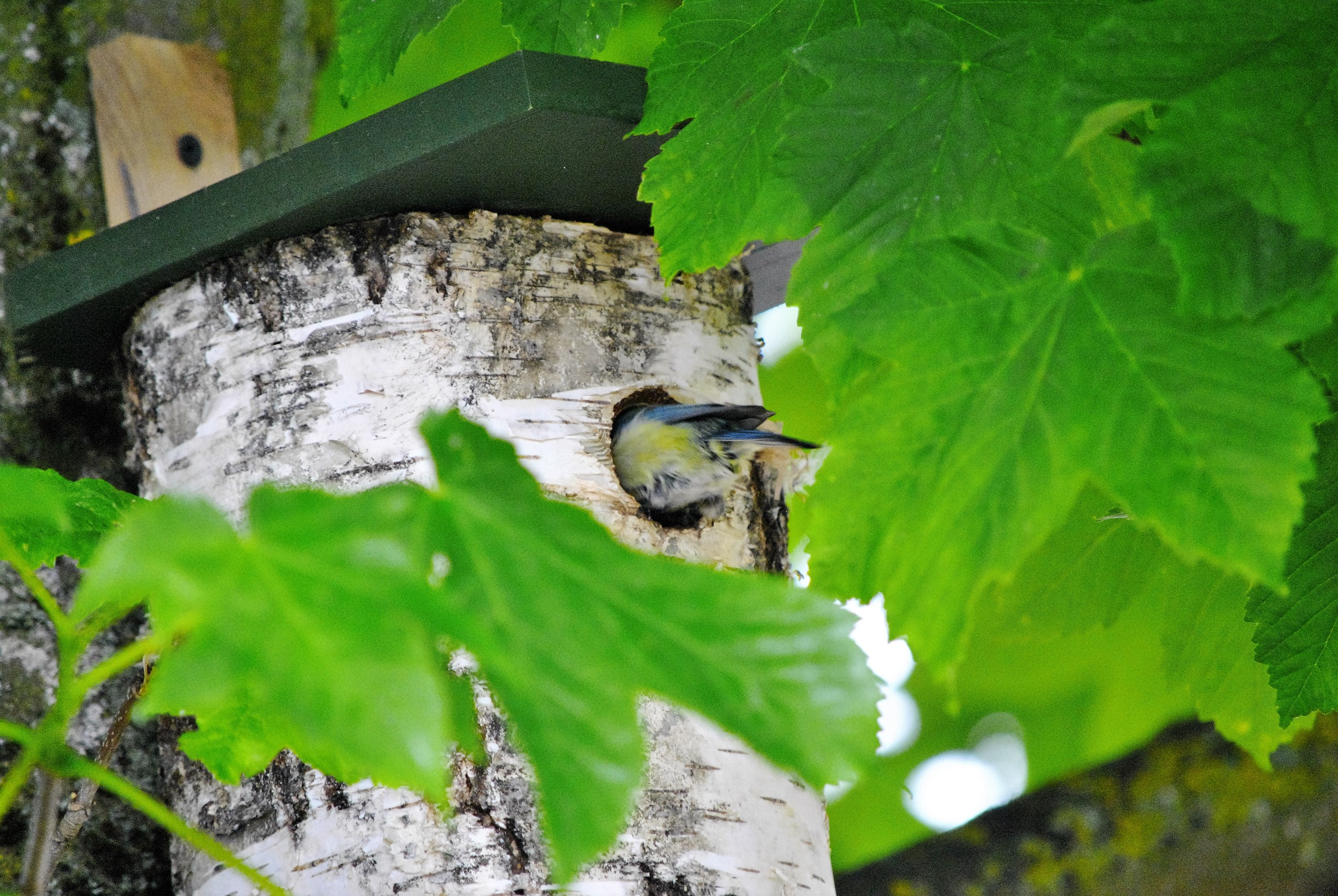 A Blue tit in the nest box outside the Ginger&Browns pet shop in Northwich, near Chester, Winsford and Frodsham in Cheshire.