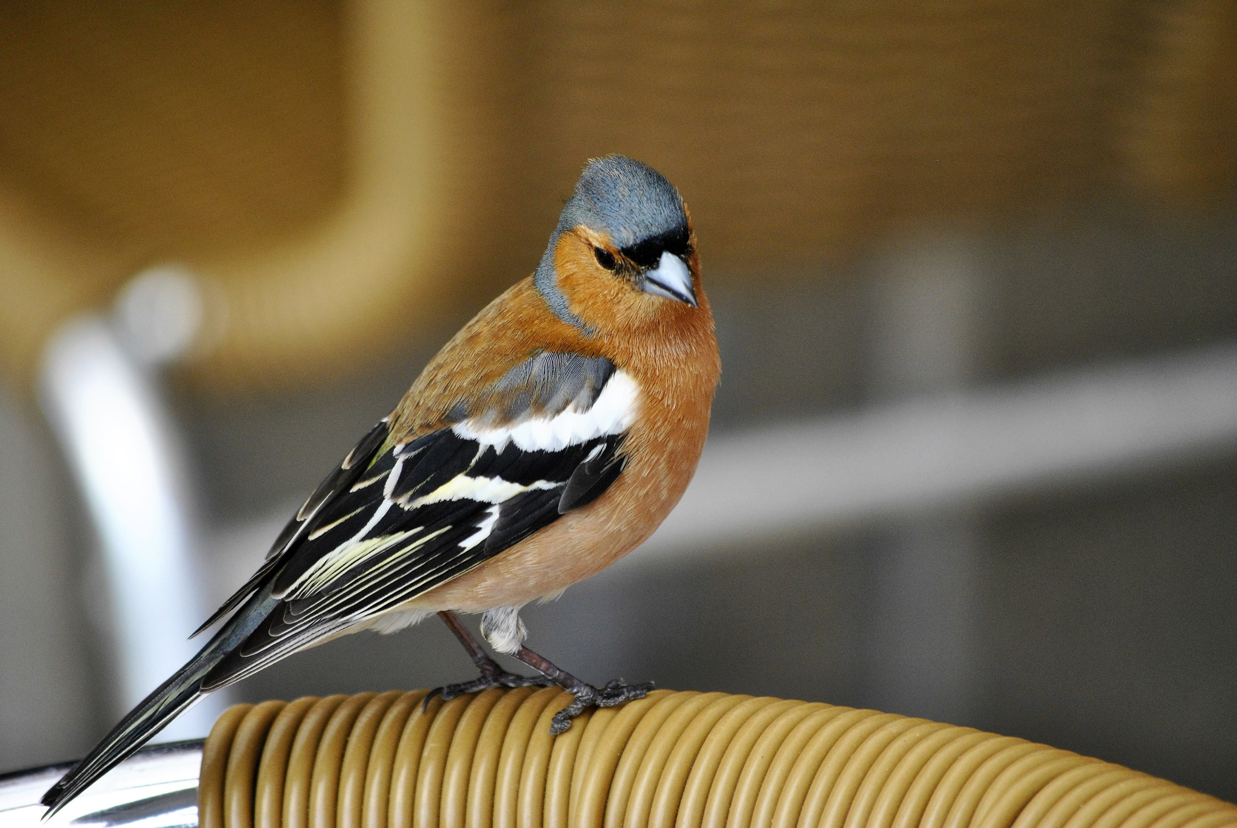 Chaffinch photograph from Ginger&Browns shop for dogs, cats and wildlife in Northwich, Cheshire.