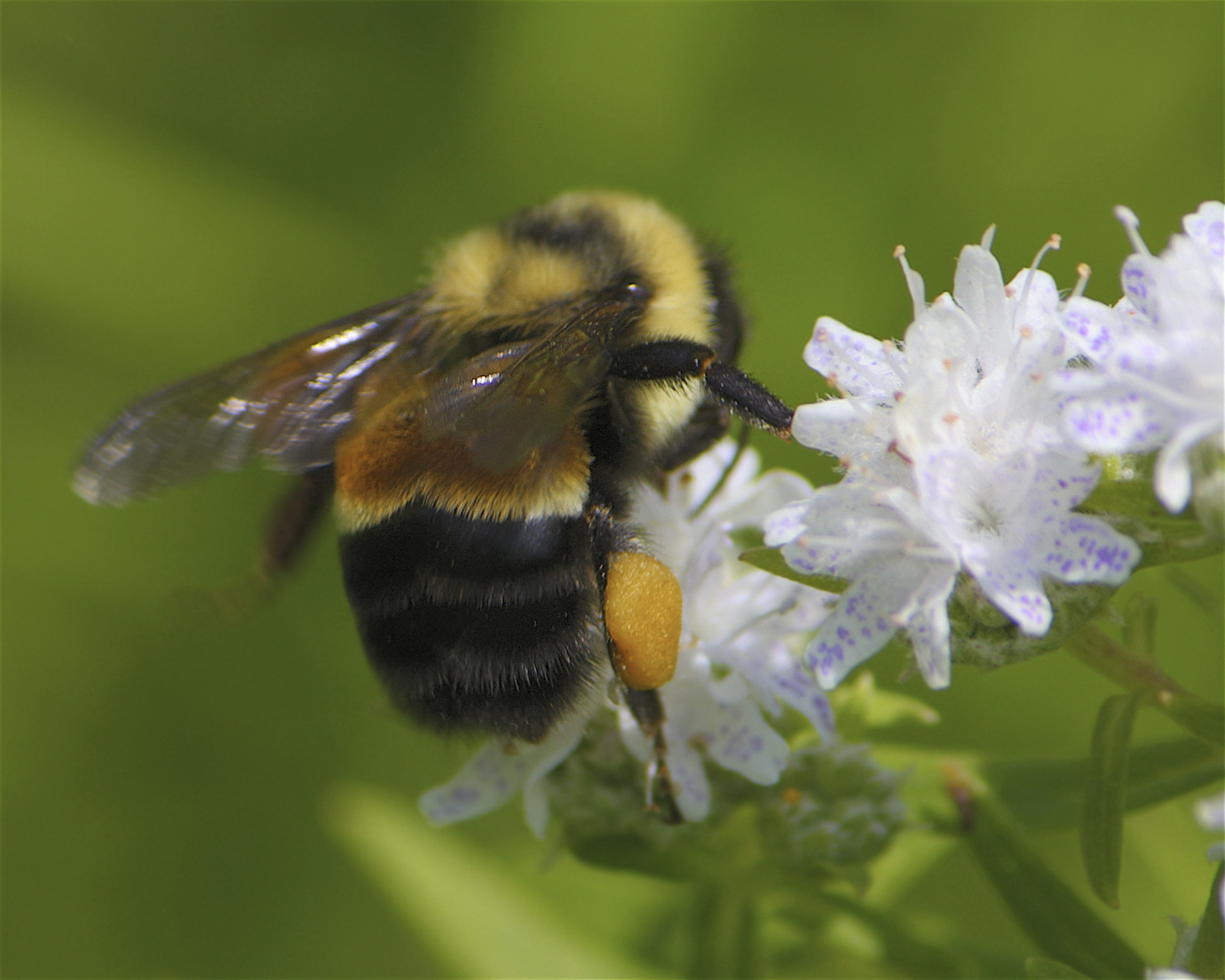 The rusty-patched bumblebee is an endangered species in Wisconsin. The Xerces Society provides resources on invertebrates like bees and many of our other important pollinators.  Photo: Dan Mullen, Creative Commons.