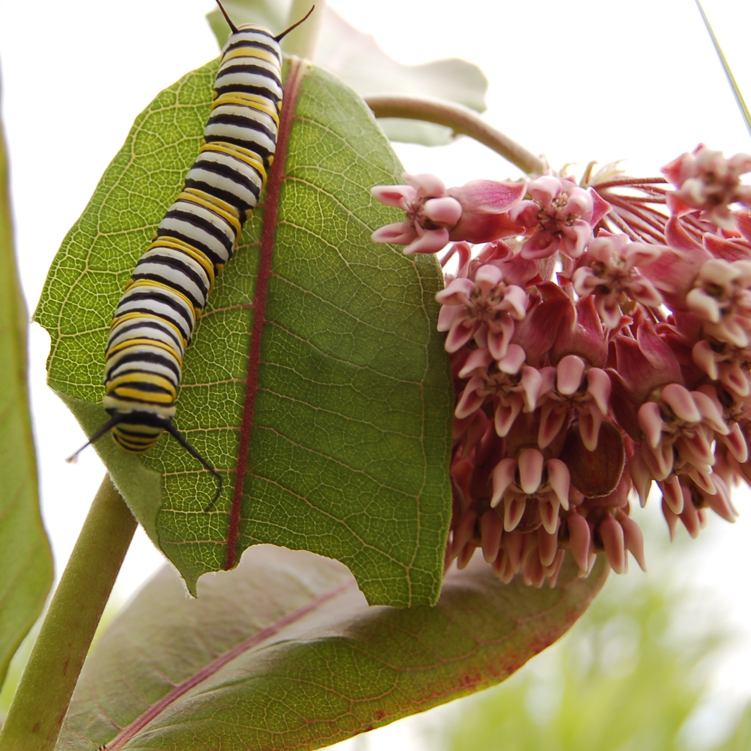 Emily Meier_Monarch Caterpillar on Milkweed.jpg