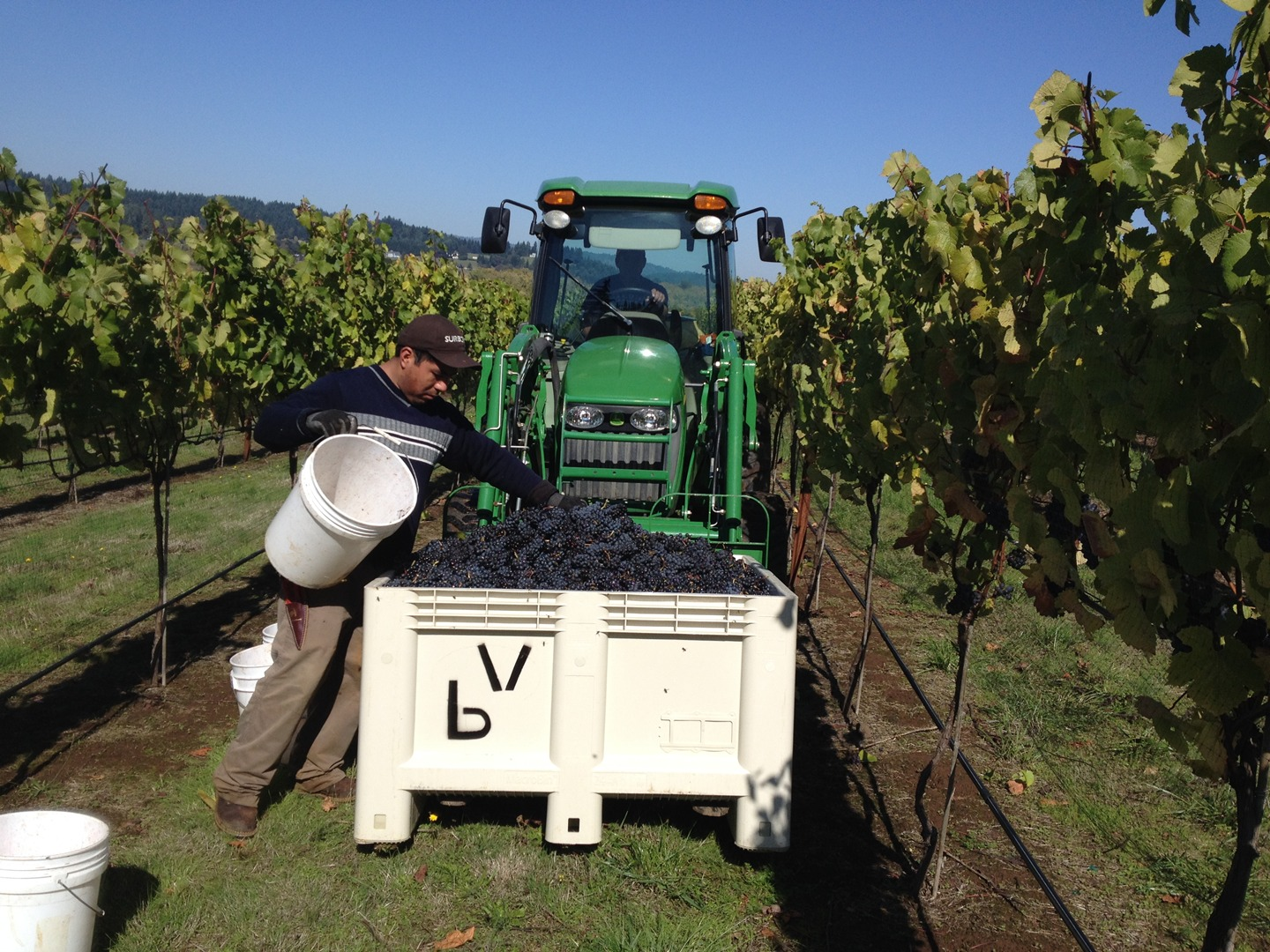 Grapes are hand picked to avoid bruising the berries