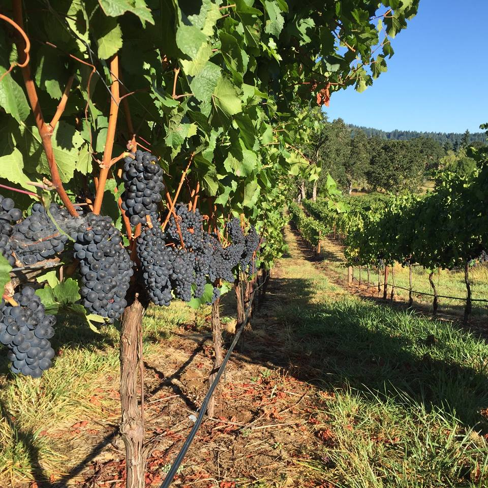 bennett-vineyards-grapes.jpg