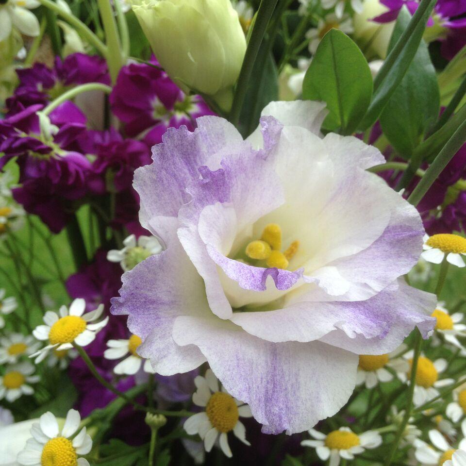 Lisianthus stock, tana daisy