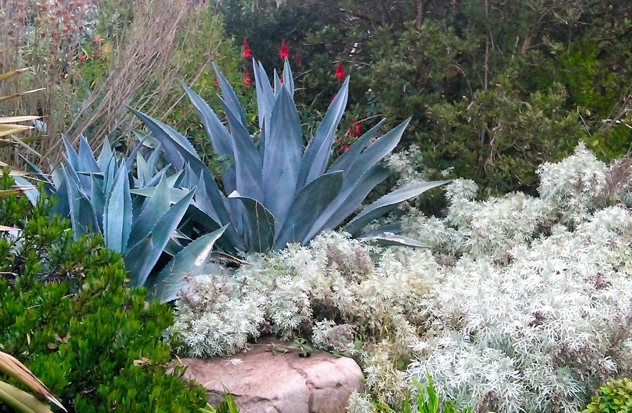 blue agave (2).jpg