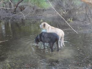 This is Gwenni. She was a courtesy post through our site for a local shelter. She found a new family, a new brother and a new lease on life! She's playing in the pond with her new brother here. We couldn't be happier for this once unwanted girl. She deserves all of this happiness!!
