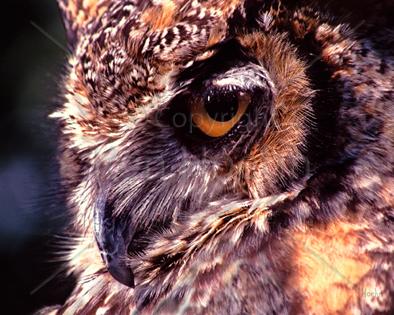 Owl Prints