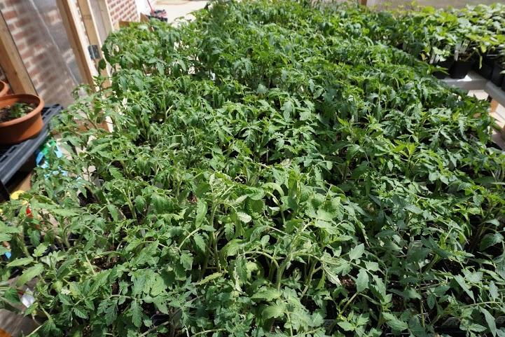 tomatoes1.jpeg