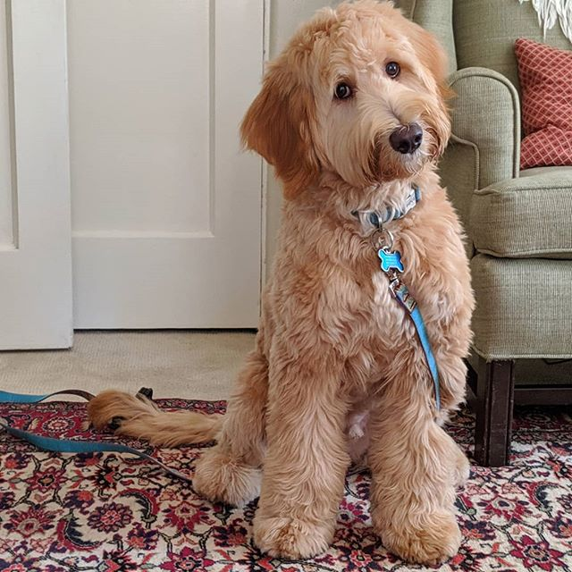 Is there anything more genuine than the way your dog looks at you #whoodle #puppytraining #firstsession #inhome #privatetraining #puppydogeyes #thatface #positivereinforcement #certified #customize #sandiegodogtraining #dogpanion #dogtraining
