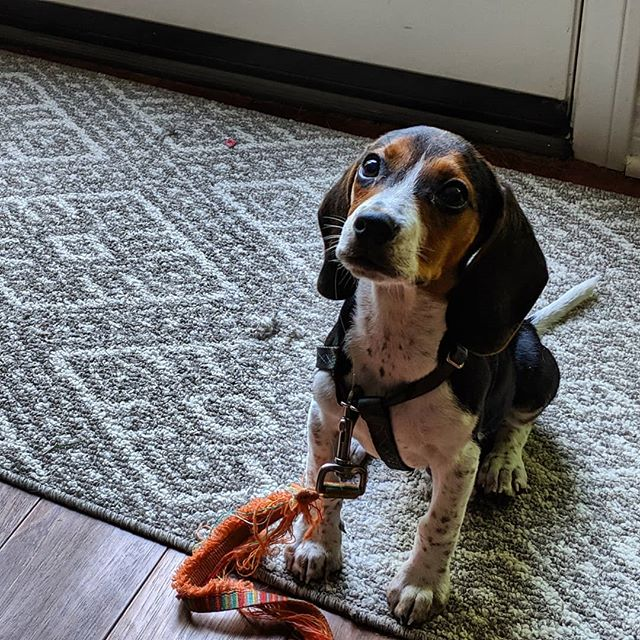 It's good to train in home #firstday #firstsession #beaglepuppy #beaglesofinstagram #privatetraining #sandiegodogtraining #sit #dogpanion #dogtraining