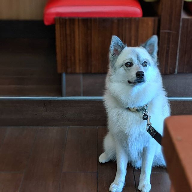 This dog really knows how to work a camera #pomsky #pomskyofinstagram #fieldtrip #westfieldutc #veggiegrill #lajolla #sandiegodogtrainer #privatetraining #positivereinforcement #dogpanion