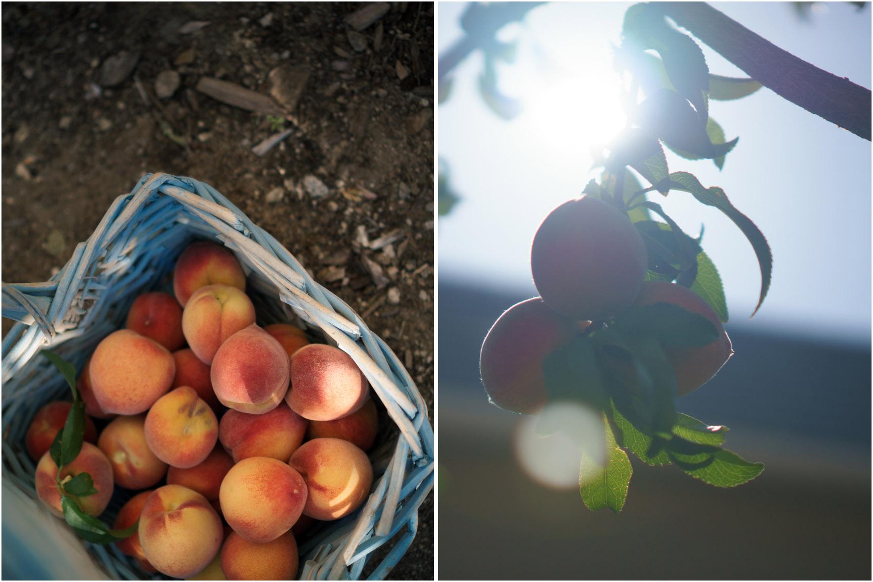 peachharvest.jpg