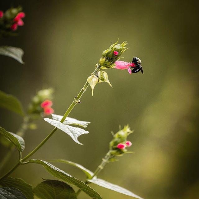 Bee-ware of walking into a bee at work along the path at the Atlanta Botanical Garden.  #bee #salvia #pollinator #gardening #perennials #canon #canon6d #canon70200 #atlantabotanicalgardens #ruleofthirds #pinkflowers