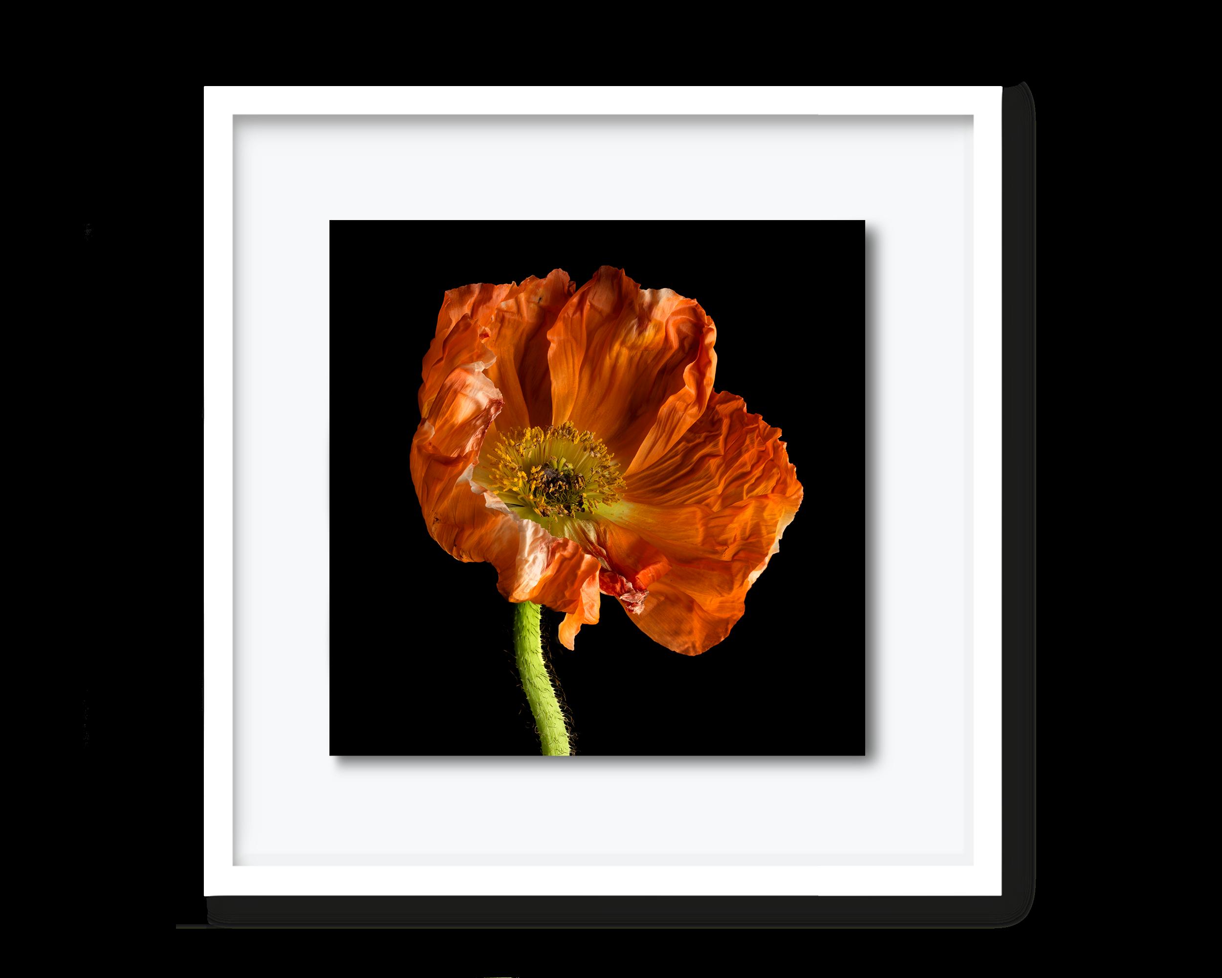 60.david-pearce-poppy.png