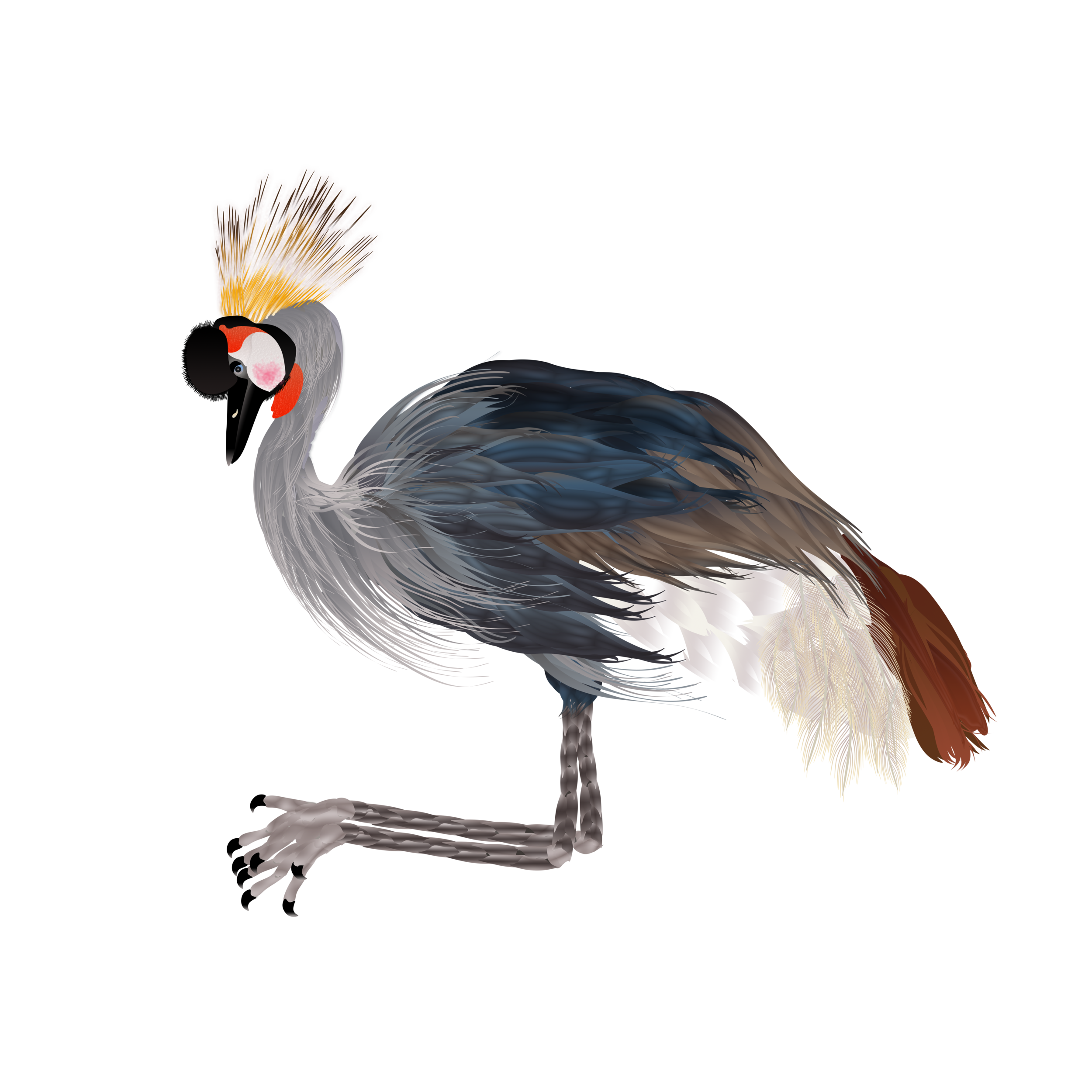 Black Crowned Crane_2703.png