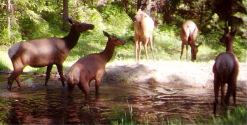 2015-07 - Elk Herd #1.JPG