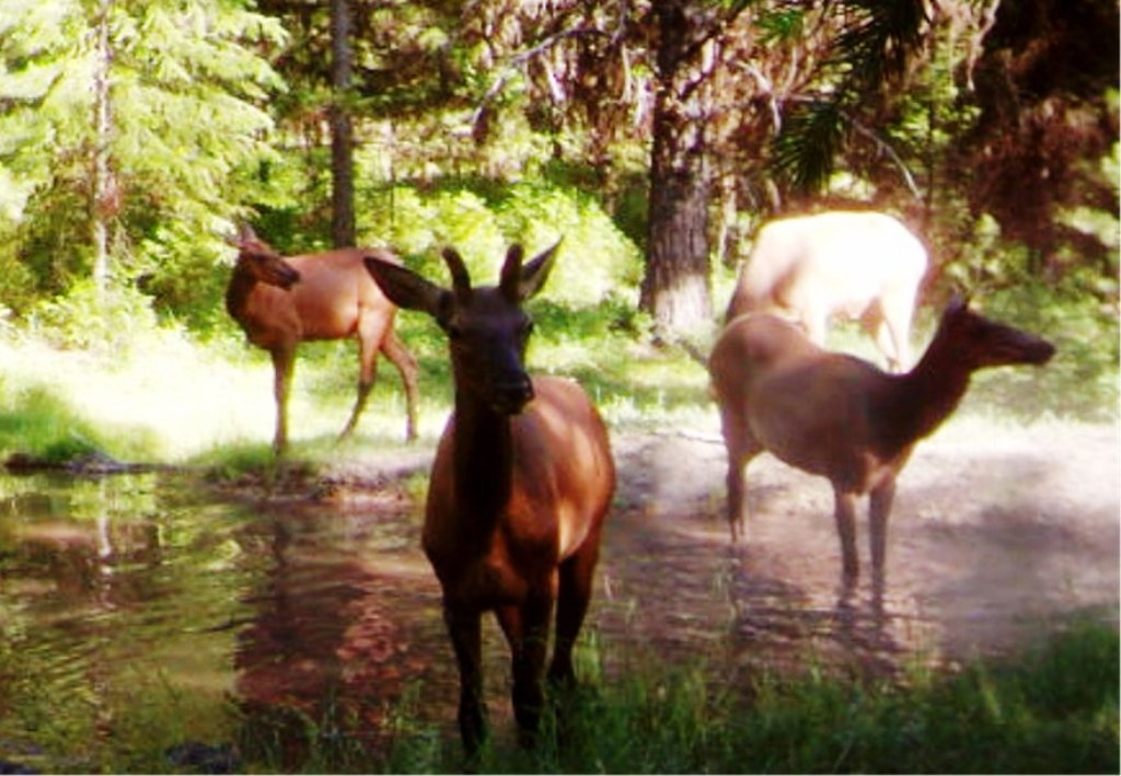 2015-08 - Bull Elk and Harem.JPG