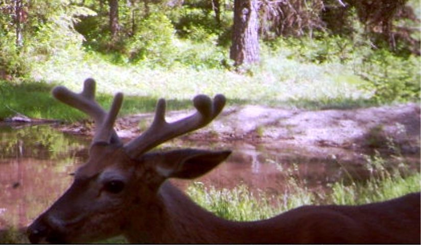 SR2 Pond - Buck Deer on SR2.JPG