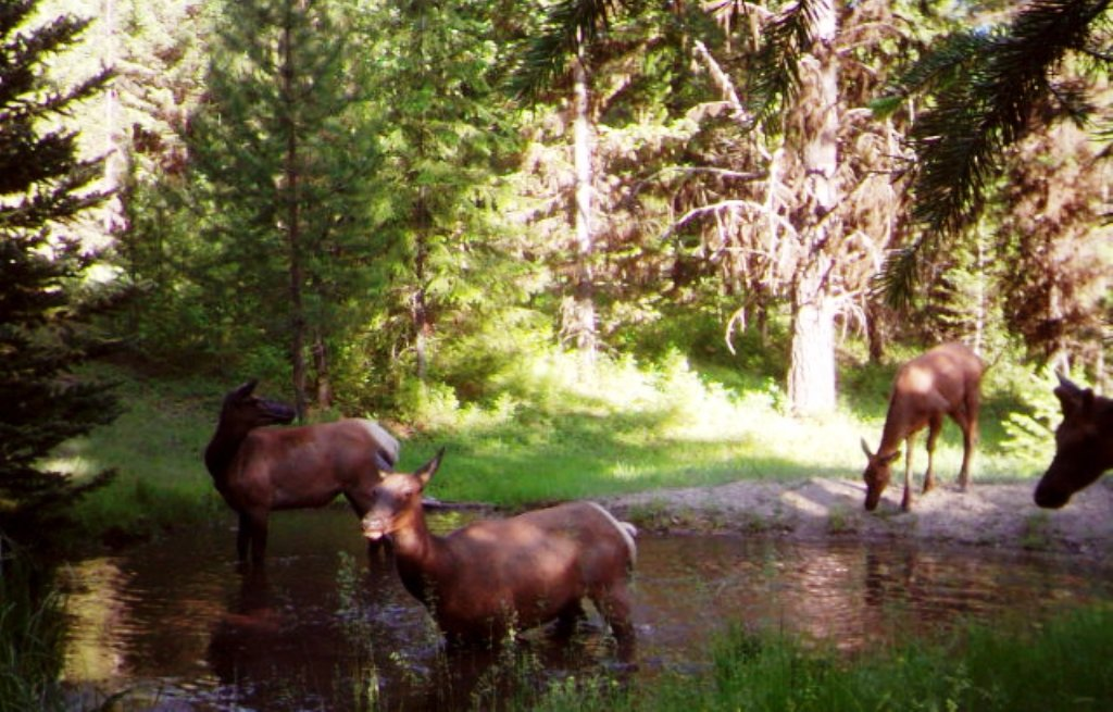 SR2 Pond - Elk in the SR2 Pond - 2015.JPG