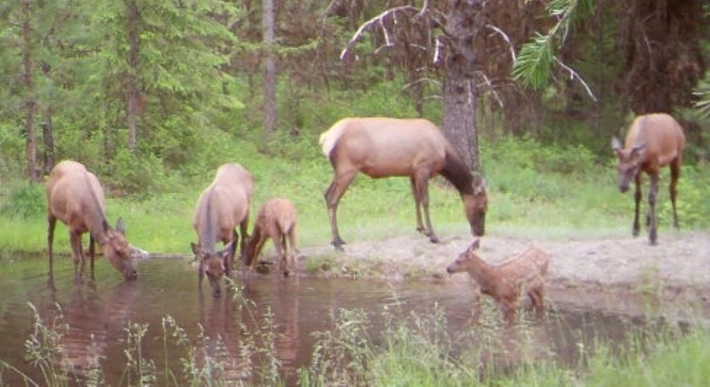 SR2 Pond - Elk at SR2 Pond.jpg