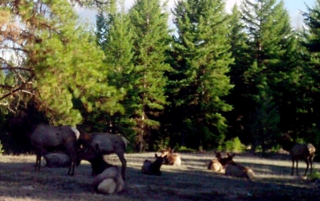 2015-04-02 - Elk Herd Relaxing on SR 2.0 Build Site