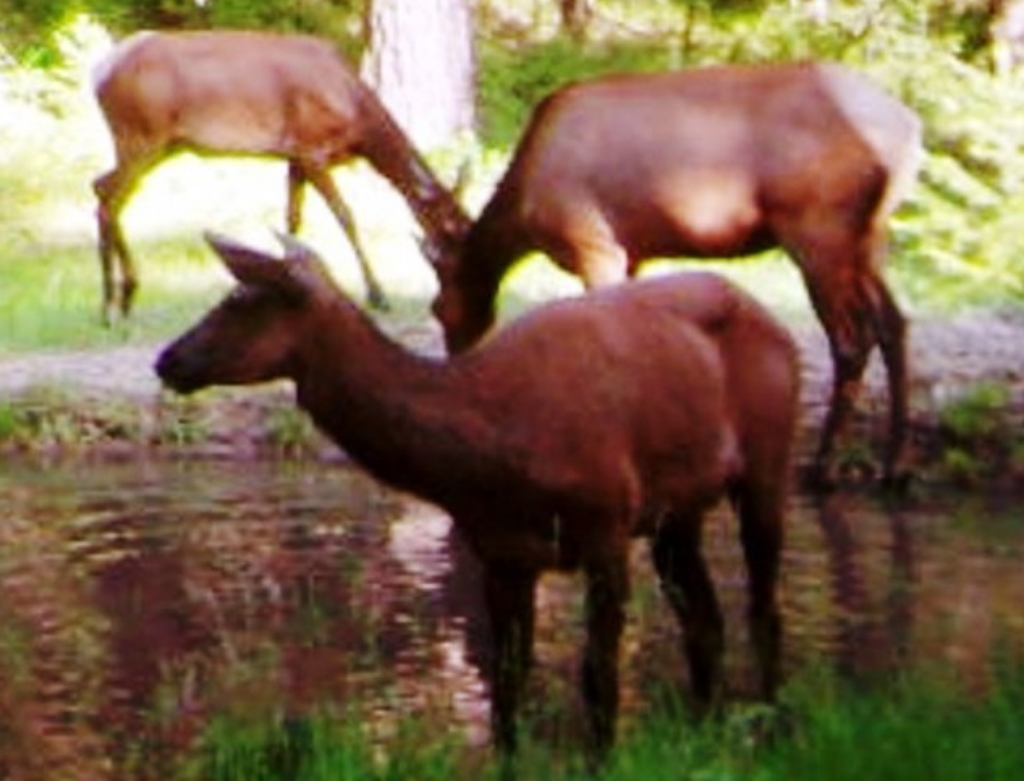 2015-08-09 - 3 Elk in the SR 2.0 Pond