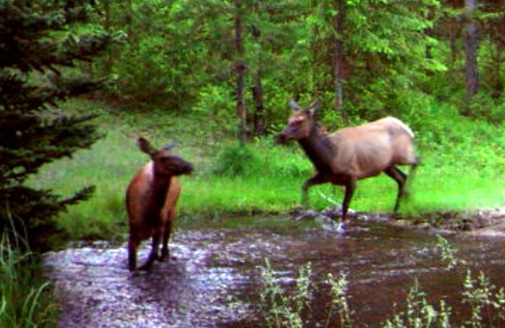 2015-05-08 - 2 Elk in SR 2.0 Pond
