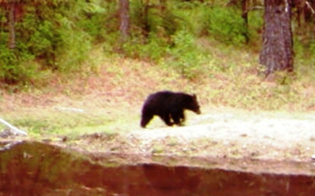 2015-08-09 - Small Black Bear leaving SR 2.0 Pond