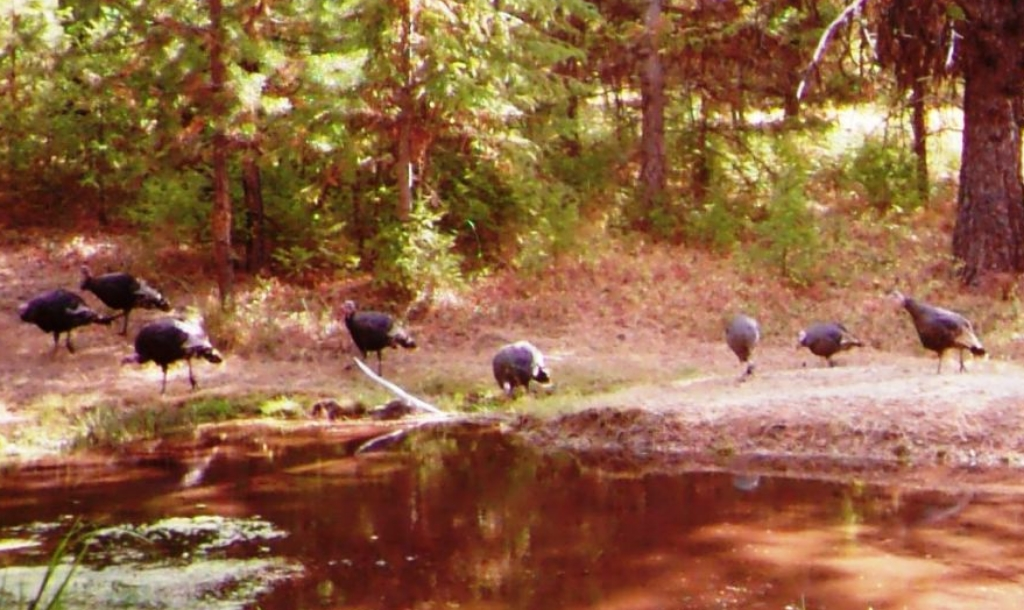 2015-10-06 - Turkeys near the SR 2.0 Pond