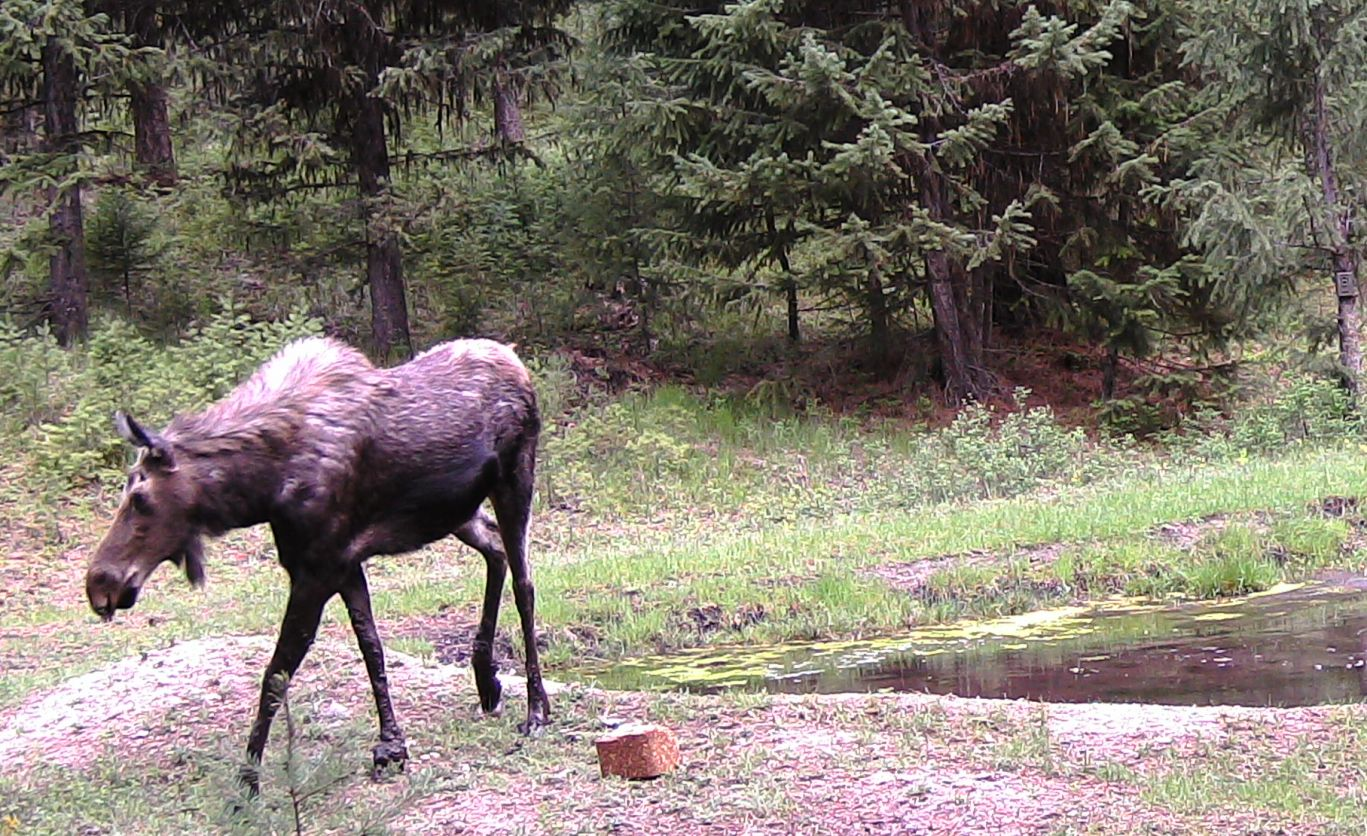 2016-05-05 - Moose near SR2 Pond #2